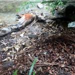 養老の山中に大量シカ死骸 骨も散乱 ~狩猟・猟銃の規制強化の流れかもしれません